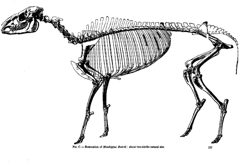 Reference: Scott, WB. 1891. On the osteology of Mesohippus and Leptomeryx. Journal of Morphology, 5(3): 337.